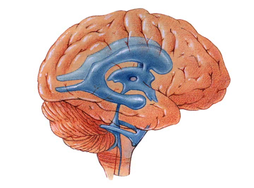 The_Human_Brain